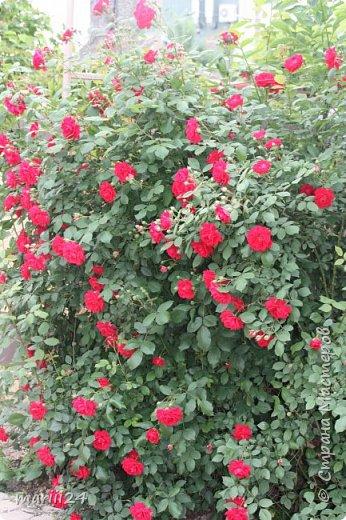 Добрый день. Обещала я выкладывать фото своего сада по сезонам - выкладываю. Сейчас у нас (вроде бы по календарю) лето!!!  Так как цветов у меня много разных, решила выкладывать фото по видам. Сегодня - королева сада РОЗА!!!! фото 22