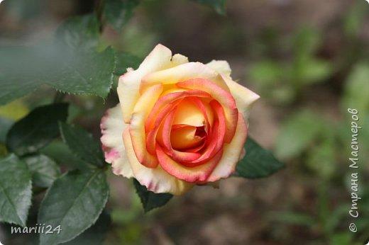Добрый день. Обещала я выкладывать фото своего сада по сезонам - выкладываю. Сейчас у нас (вроде бы по календарю) лето!!!  Так как цветов у меня много разных, решила выкладывать фото по видам. Сегодня - королева сада РОЗА!!!! фото 13