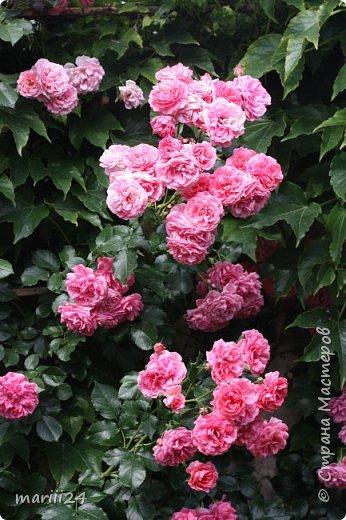 Добрый день. Обещала я выкладывать фото своего сада по сезонам - выкладываю. Сейчас у нас (вроде бы по календарю) лето!!!  Так как цветов у меня много разных, решила выкладывать фото по видам. Сегодня - королева сада РОЗА!!!! фото 28