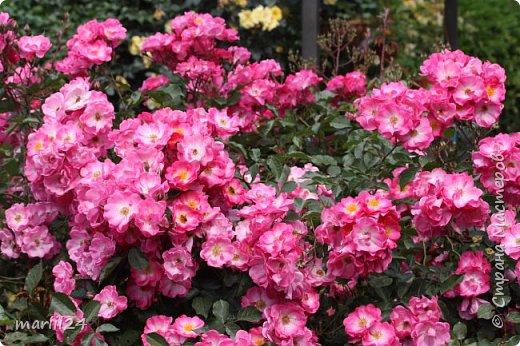 Добрый день. Обещала я выкладывать фото своего сада по сезонам - выкладываю. Сейчас у нас (вроде бы по календарю) лето!!!  Так как цветов у меня много разных, решила выкладывать фото по видам. Сегодня - королева сада РОЗА!!!! фото 2