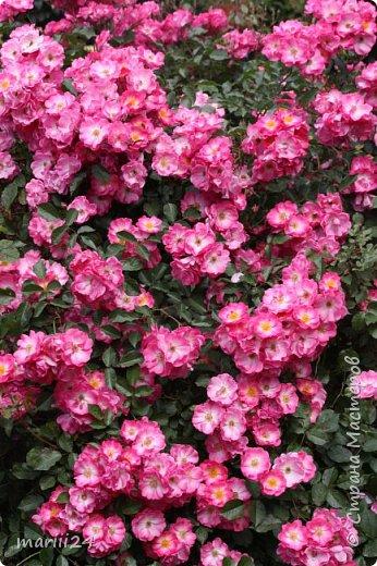 Добрый день. Обещала я выкладывать фото своего сада по сезонам - выкладываю. Сейчас у нас (вроде бы по календарю) лето!!!  Так как цветов у меня много разных, решила выкладывать фото по видам. Сегодня - королева сада РОЗА!!!! фото 1