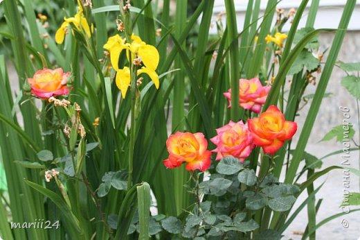 Добрый день. Обещала я выкладывать фото своего сада по сезонам - выкладываю. Сейчас у нас (вроде бы по календарю) лето!!!  Так как цветов у меня много разных, решила выкладывать фото по видам. Сегодня - королева сада РОЗА!!!! фото 11