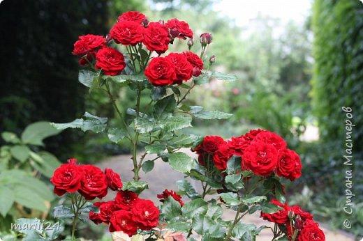 Добрый день. Обещала я выкладывать фото своего сада по сезонам - выкладываю. Сейчас у нас (вроде бы по календарю) лето!!!  Так как цветов у меня много разных, решила выкладывать фото по видам. Сегодня - королева сада РОЗА!!!! фото 23