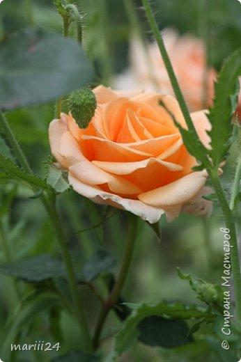 Добрый день. Обещала я выкладывать фото своего сада по сезонам - выкладываю. Сейчас у нас (вроде бы по календарю) лето!!!  Так как цветов у меня много разных, решила выкладывать фото по видам. Сегодня - королева сада РОЗА!!!! фото 8