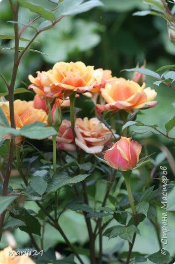 Добрый день. Обещала я выкладывать фото своего сада по сезонам - выкладываю. Сейчас у нас (вроде бы по календарю) лето!!!  Так как цветов у меня много разных, решила выкладывать фото по видам. Сегодня - королева сада РОЗА!!!! фото 24
