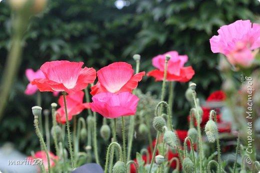 Добрый день. Обещала я выкладывать фото своего сада по сезонам - выкладываю. Сейчас у нас (вроде бы по календарю) лето!!!  Так как цветов у меня много разных, решила выкладывать фото по видам. Сегодня - королева сада РОЗА!!!! фото 27