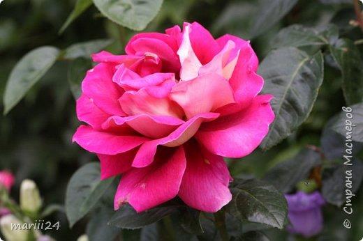 Добрый день. Обещала я выкладывать фото своего сада по сезонам - выкладываю. Сейчас у нас (вроде бы по календарю) лето!!!  Так как цветов у меня много разных, решила выкладывать фото по видам. Сегодня - королева сада РОЗА!!!! фото 3