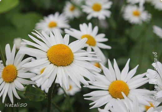 Доброго всем дня!! На улице дожди и прохладно,но цветы радуют.вот решила поделиться с вами.. приглашаю на прогулку..  фото 1