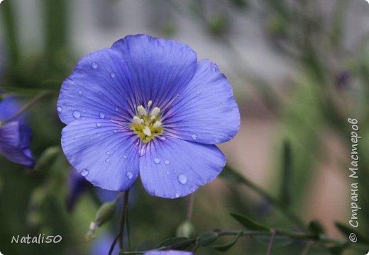 Доброго всем дня!! На улице дожди и прохладно,но цветы радуют.вот решила поделиться с вами.. приглашаю на прогулку..  фото 2