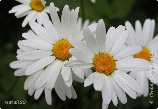 Доброго всем дня!! На улице дожди и прохладно,но цветы радуют.вот решила поделиться с вами.. приглашаю на прогулку..  фото 3