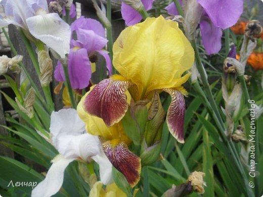Всем привет. Вот такие цветы  цветут у меня сейчас. Лилии. Простые, обычные, но мне нравятся.Красиво, когда они все в куче - яркие, издалека видны. Они самые ранние из лилий, остальные ещё в бутонах. фото 12