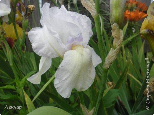 Всем привет. Вот такие цветы  цветут у меня сейчас. Лилии. Простые, обычные, но мне нравятся.Красиво, когда они все в куче - яркие, издалека видны. Они самые ранние из лилий, остальные ещё в бутонах. фото 10