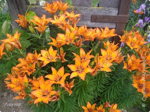 Всем привет. Вот такие цветы  цветут у меня сейчас. Лилии. Простые, обычные, но мне нравятся.Красиво, когда они все в куче - яркие, издалека видны. Они самые ранние из лилий, остальные ещё в бутонах. фото 1