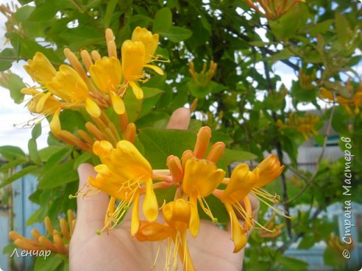 Всем привет. Вот такие цветы  цветут у меня сейчас. Лилии. Простые, обычные, но мне нравятся.Красиво, когда они все в куче - яркие, издалека видны. Они самые ранние из лилий, остальные ещё в бутонах. фото 2