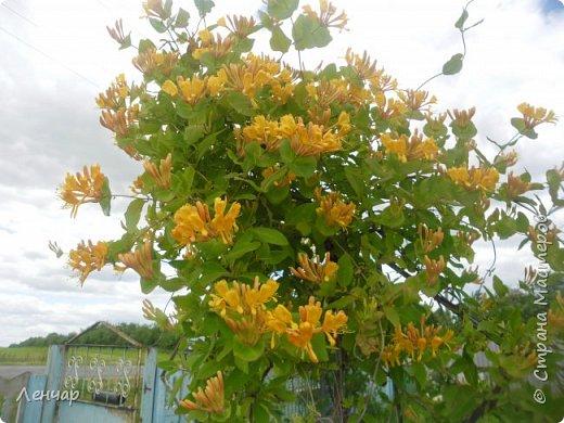 Всем привет. Вот такие цветы  цветут у меня сейчас. Лилии. Простые, обычные, но мне нравятся.Красиво, когда они все в куче - яркие, издалека видны. Они самые ранние из лилий, остальные ещё в бутонах. фото 3