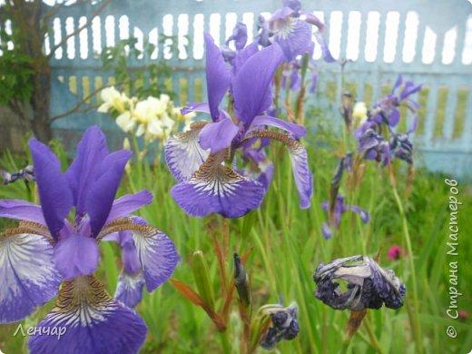 Всем привет. Вот такие цветы  цветут у меня сейчас. Лилии. Простые, обычные, но мне нравятся.Красиво, когда они все в куче - яркие, издалека видны. Они самые ранние из лилий, остальные ещё в бутонах. фото 14