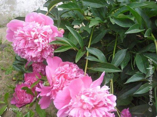 Всем привет. Вот такие цветы  цветут у меня сейчас. Лилии. Простые, обычные, но мне нравятся.Красиво, когда они все в куче - яркие, издалека видны. Они самые ранние из лилий, остальные ещё в бутонах. фото 6