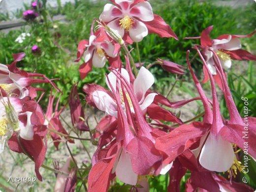 Всем привет. Вот такие цветы  цветут у меня сейчас. Лилии. Простые, обычные, но мне нравятся.Красиво, когда они все в куче - яркие, издалека видны. Они самые ранние из лилий, остальные ещё в бутонах. фото 7