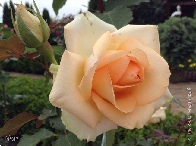 Начну с.роз... фото 1