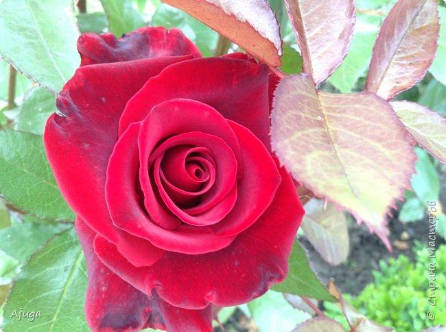 Начну с.роз... фото 11