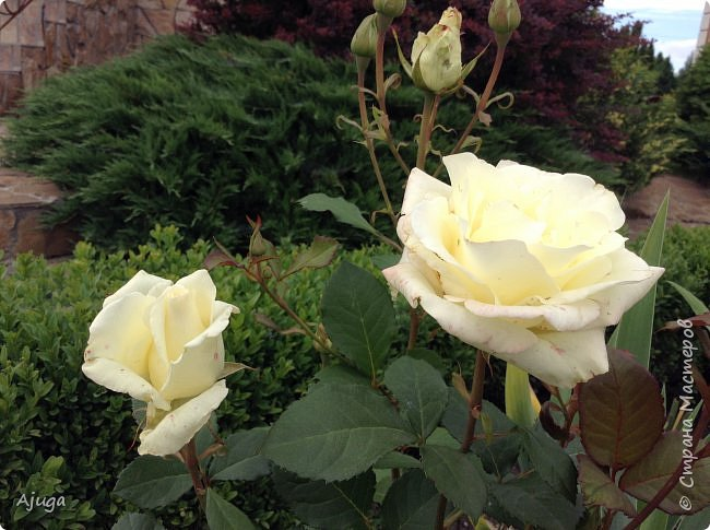 Начну с.роз... фото 3