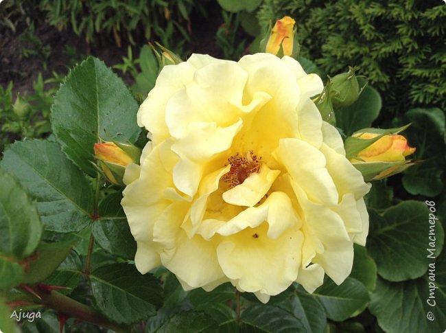 Начну с.роз... фото 5