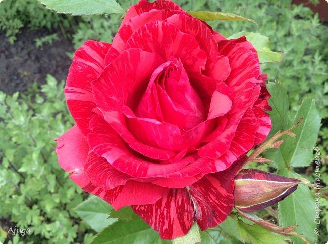Начну с.роз... фото 4