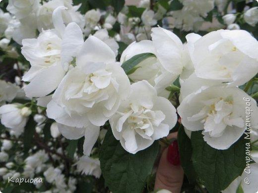 Здравствуйте жители СМ!  Недавно лепила жасмин из хф - и просто влюбилась в этот цветок! Вот что получилось. Решила сфоткать процесс создания цветочка - вдруг кому-то пригодится. фото 34