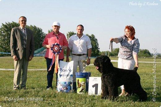 Русский черный терьер Блек Росси Лаурель - BIS-1 (Лучшая собака выставки)! Черный терьер - гордость российской кинологии. Порода завоевала мир. фото 1