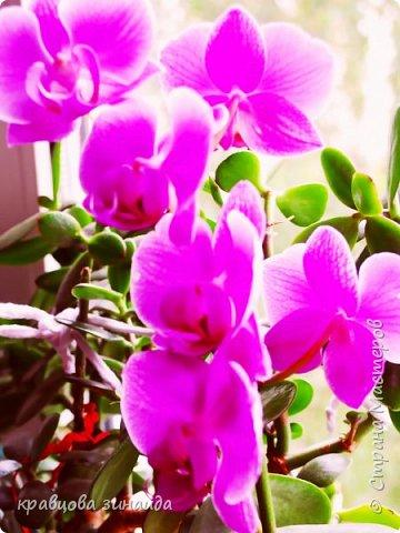 ДОБРЫЙ ДЕНЬ МОИ ДОРОГИЕ ДРУЗЬЯ ! сегодня я к вам  с цветами и вазочками, соседка отдала на лето мне две ОРХИДЕИ , ну как не сфотографировать такую красоту, полюбуемся  фото 1