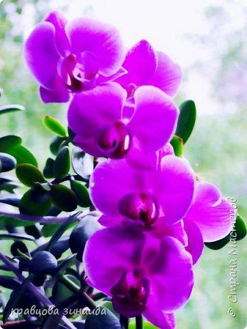 ДОБРЫЙ ДЕНЬ МОИ ДОРОГИЕ ДРУЗЬЯ ! сегодня я к вам  с цветами и вазочками, соседка отдала на лето мне две ОРХИДЕИ , ну как не сфотографировать такую красоту, полюбуемся  фото 2