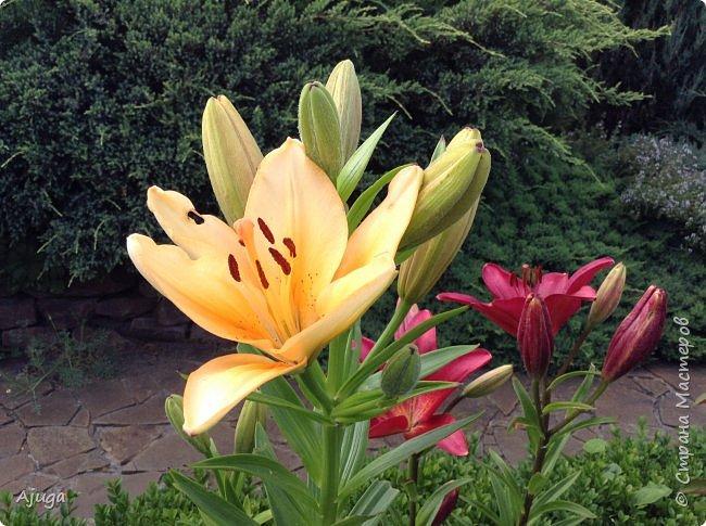 Начали цветение  лилии. фото 3