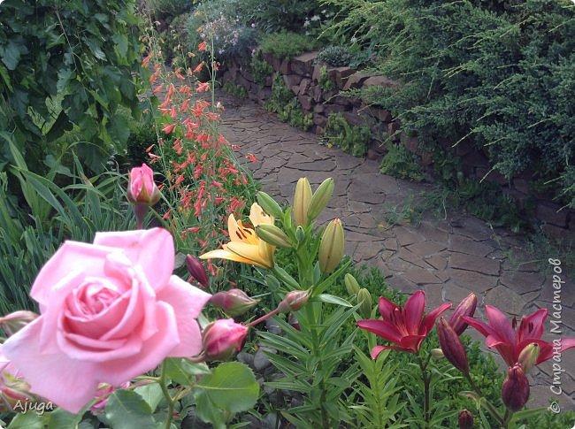 Начали цветение  лилии. фото 5