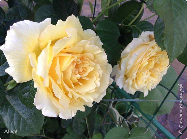 Начали цветение  лилии. фото 6