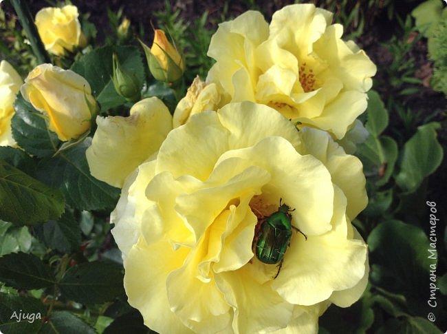 Начали цветение  лилии. фото 7