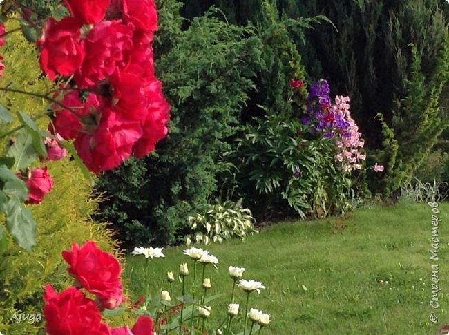Начали цветение  лилии. фото 8