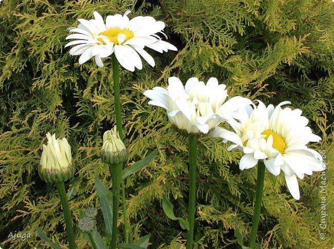 Начали цветение  лилии. фото 9