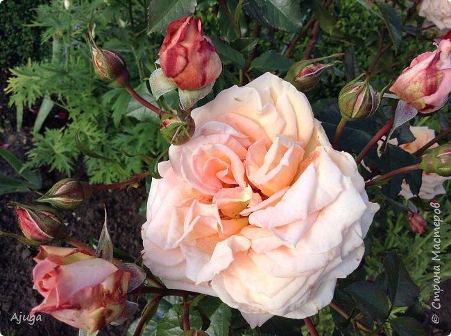 Начали цветение  лилии. фото 11