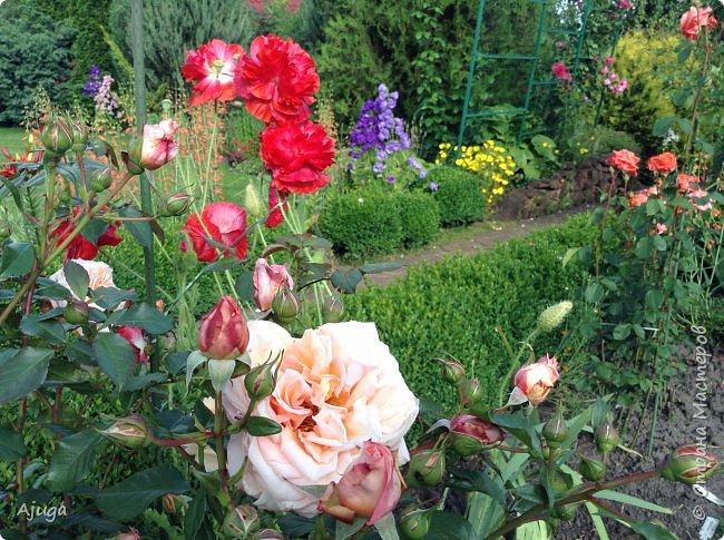 Начали цветение  лилии. фото 12