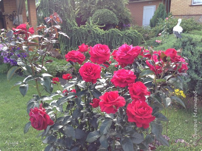 Начали цветение  лилии. фото 13