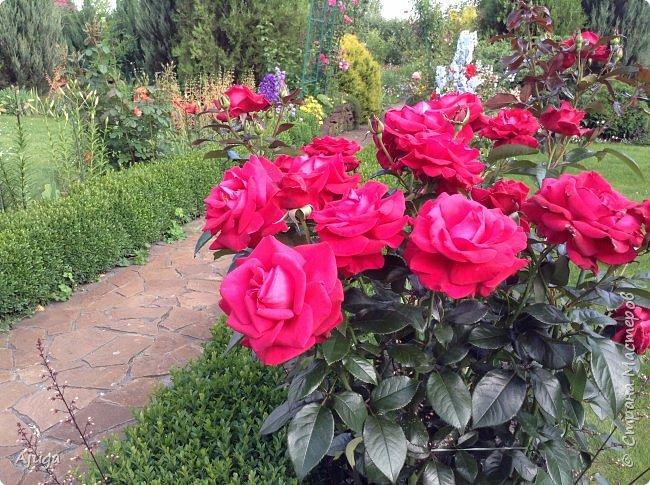 Начали цветение  лилии. фото 14