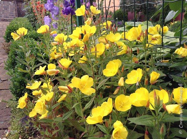 Начали цветение  лилии. фото 15