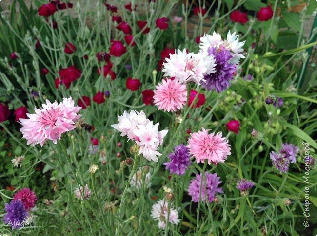 Начали цветение  лилии. фото 17