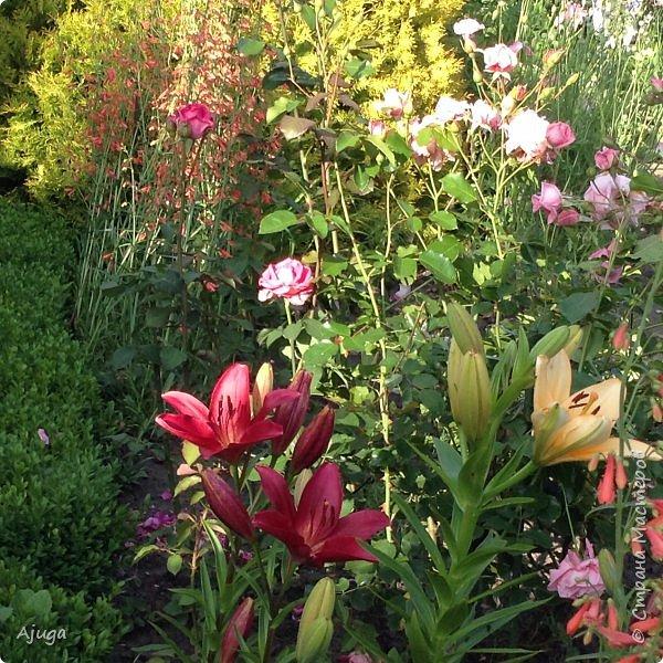 Начали цветение  лилии. фото 18