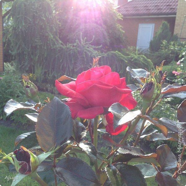 Начали цветение  лилии. фото 20
