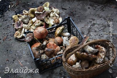 Всем привет! Вот какие дары лесные  подарили нам поездки в лес. Дожди и тепло сделали свое дело!  Лес наполнился разными грибами,, причем даже теми что обычно мы собирали осенью. фото 1