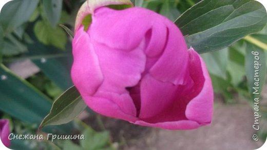 Здравствуйте дорогие жители Страны Мастеров!!! Сегодня я разобрала пион ,может кому то будет интересно и послужит наглядным примером для создания цветов из фоамирана и холодного фарфора или п/глины.... фото 24