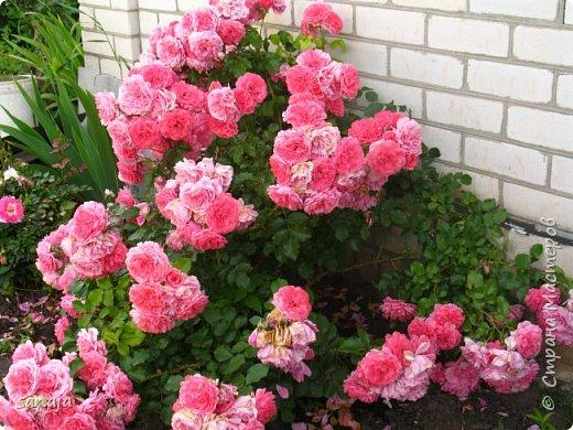 Долго не навещала  свой садик. Многие розы зацвели, но дождь изрядно похозяйничал. фото 1