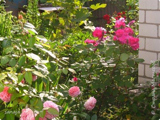 Долго не навещала  свой садик. Многие розы зацвели, но дождь изрядно похозяйничал. фото 2