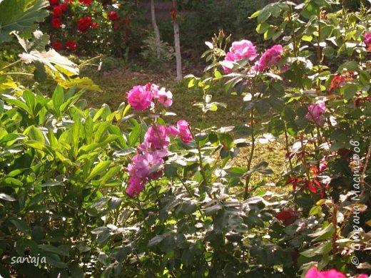 Долго не навещала  свой садик. Многие розы зацвели, но дождь изрядно похозяйничал. фото 3